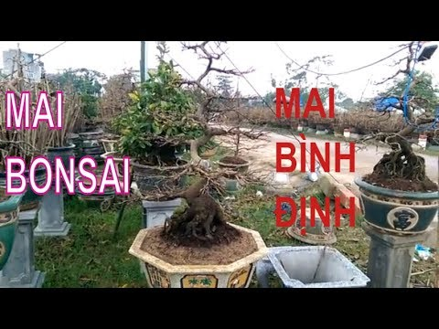 Xem Mai Bonsai đẹp quýên rũ - Mai Bình Định