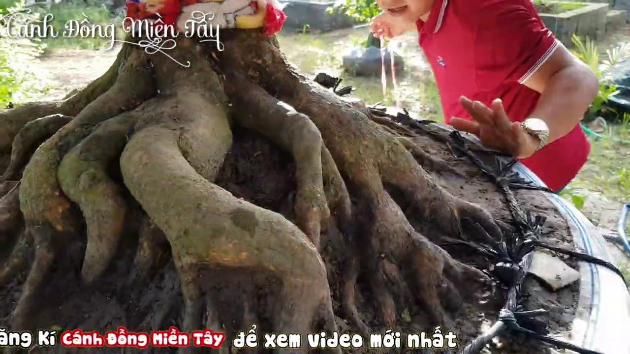 """Xem chi tiết gốc mai có để """"HƠI BỊ KHỦNG"""" ở Cái Bè Tiền Giang 0903539003"""