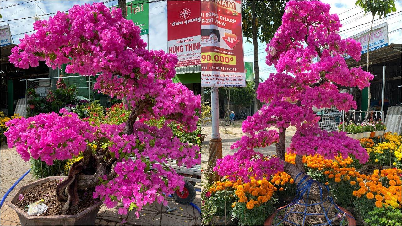Xem giá Bông giấy khủng & nhiều loại hoa kiểng Tết tại Cần Thơ 2020