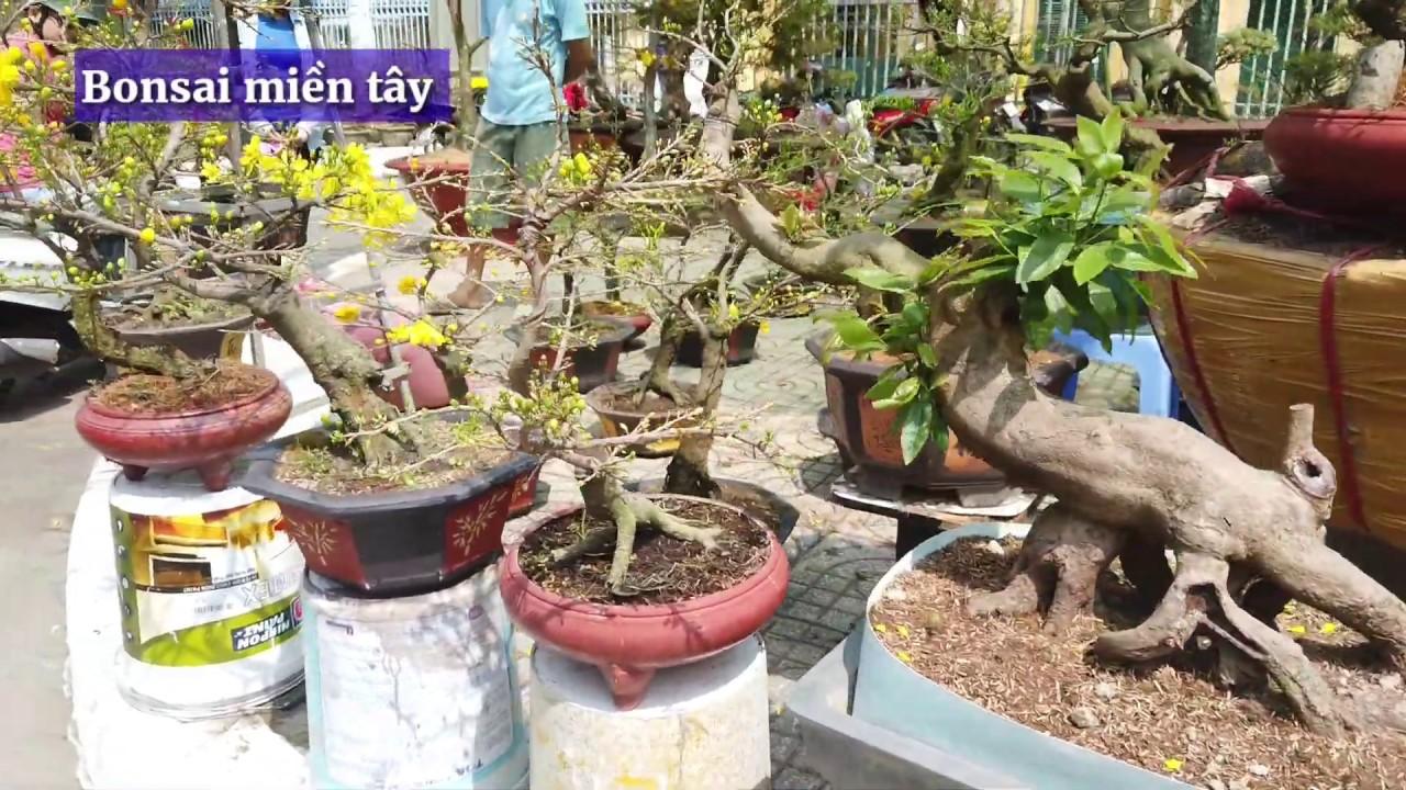Xem giá MAI ĐẠI LỘC THÀNH PHẨM CHƠI TẾT 2020 tại chợ hoa cần thơ | Bonsai miền tây