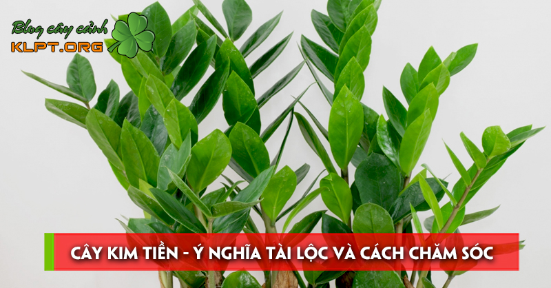 cay-kim-tien-y-nghia-tai-loc-va-cach-cham-soc