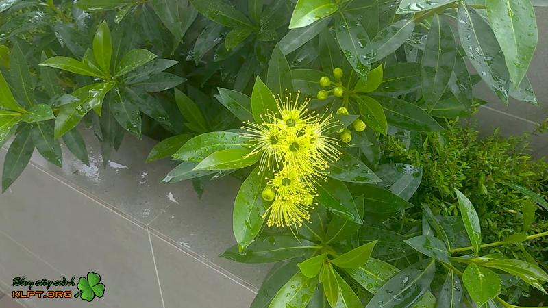 cay-mai-thai-bonsai-klpt