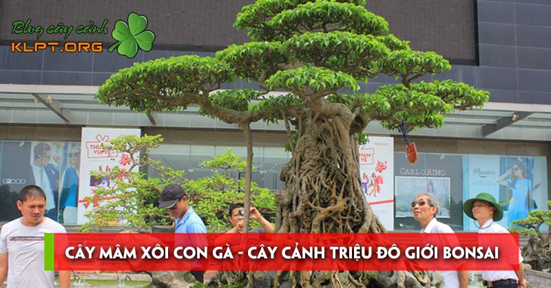 cay-mam-xoi-con-ga-cay-canh-trieu-do-va-cach