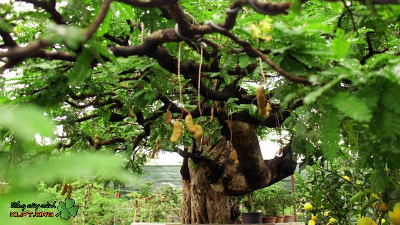 cay-me-bonsai-klpt