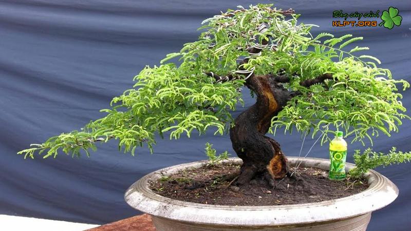 mot-so-dang-cay-me-bonsai-cho-ban-tham-khao-klpt-1