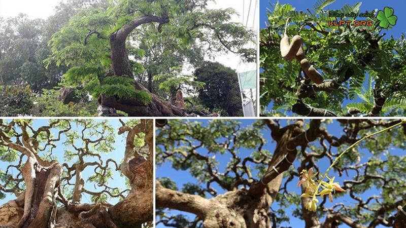 mot-so-dang-cay-me-bonsai-cho-ban-tham-khao-klpt-2