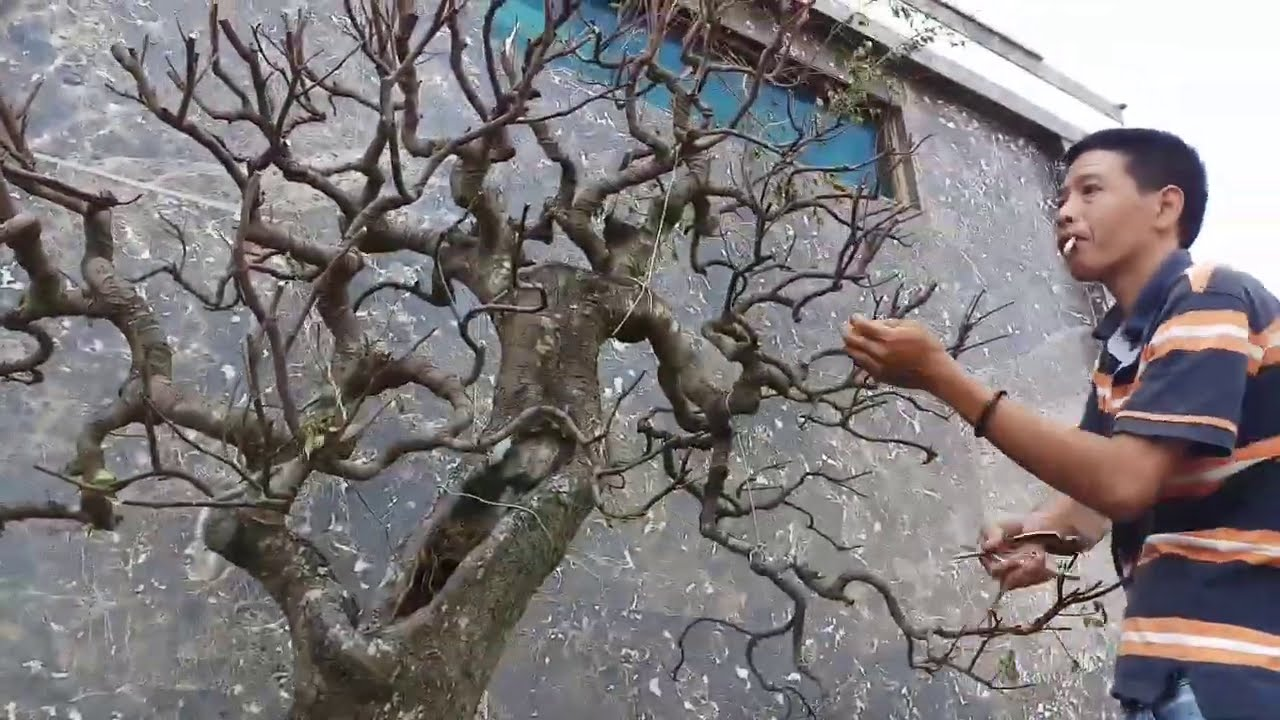 những tác phẩm Bonsai hoàn thiện của phúc ngô (khắc phục sau bão)