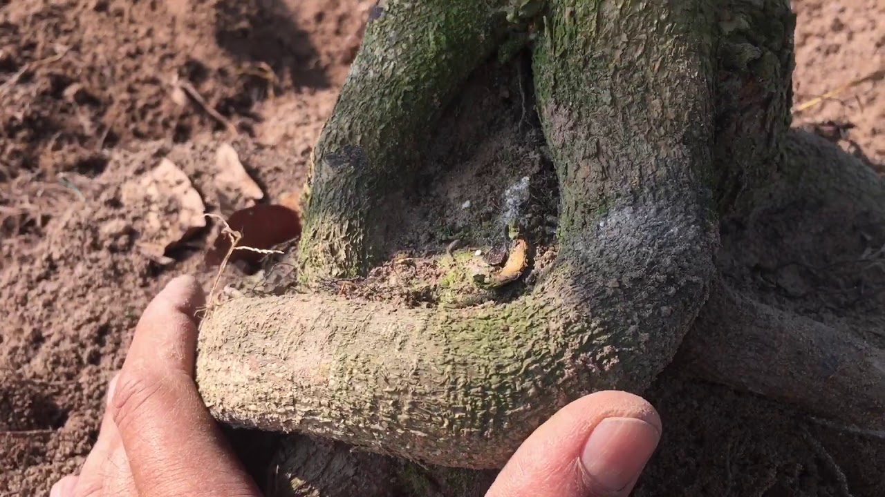 #173 : Thử xem bộ đế cây mai nâng cấp lần hai vớ cây trồng đất