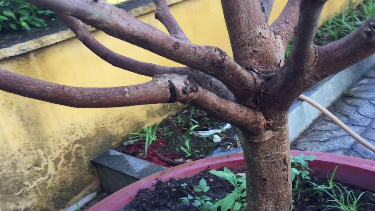 #198 : Tại sao khi sạt tàng thốn sâu cho cây mai chậu hoặc cây mới bứng không ra mầm đọt