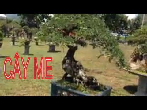 Bonsai tree | Me nhỏ mà đẹp
