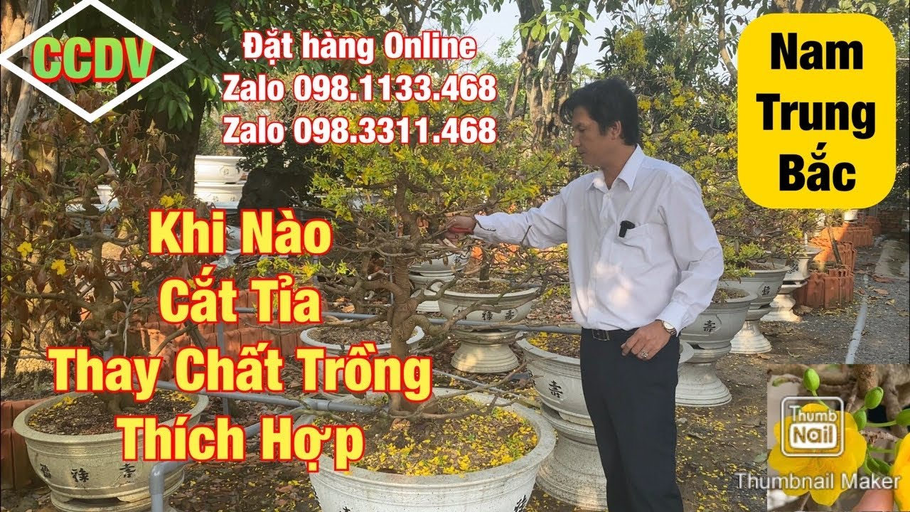 🔴 CCDV # 126. Khi Nào Cắt Tỉa Thay Chất Trồng Thay Chậu Cho Cây Mai Vàng Hợp Lí Sau Tết ||CCDV.