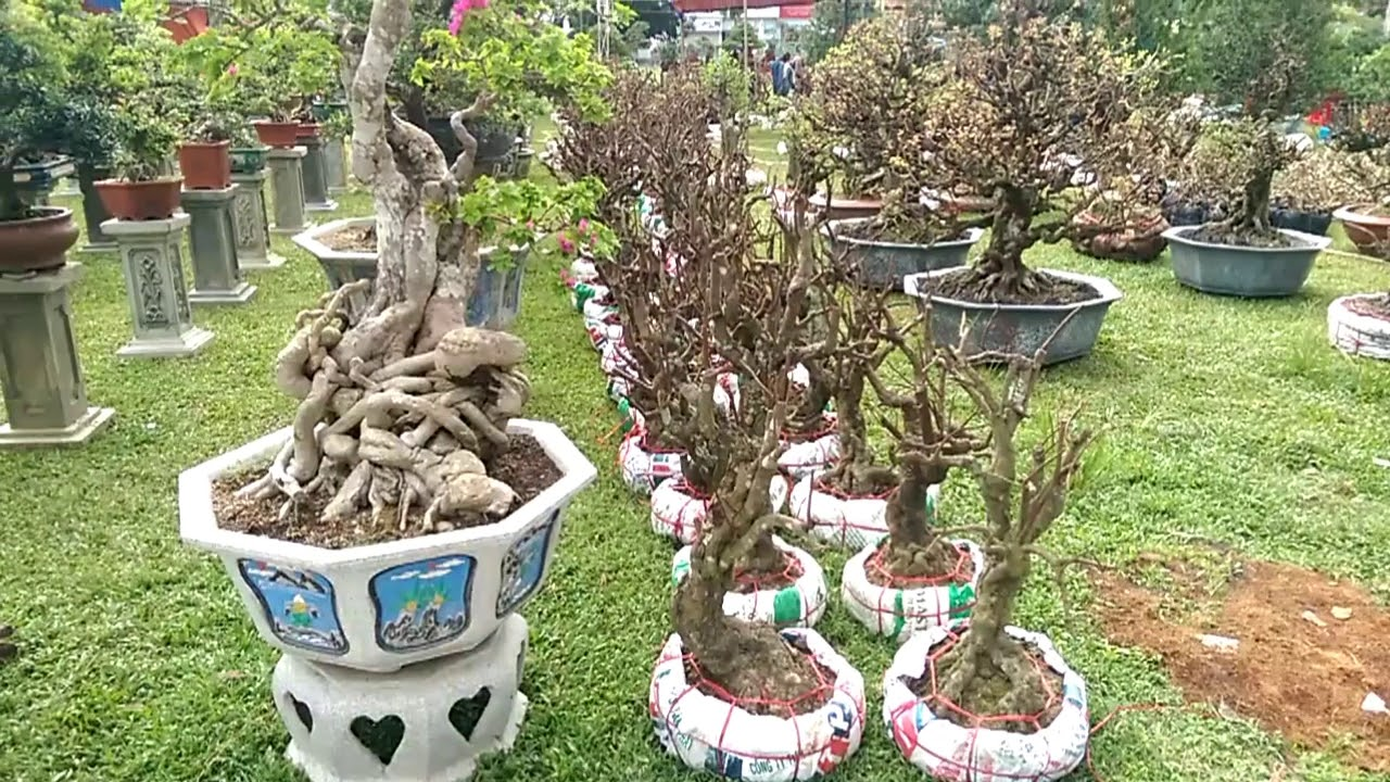 Cả đống phôi đẹp - Bonsai Binh Dinh