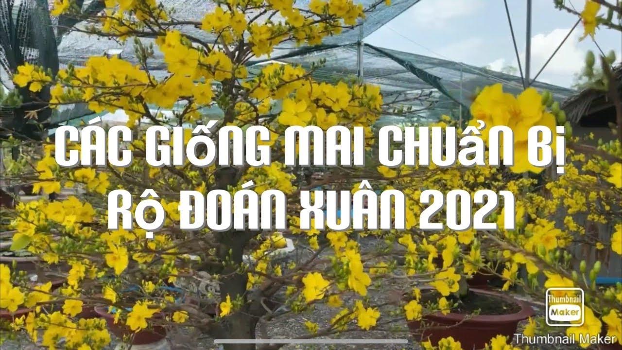 Các giống mai chuẩn bị rộ đoán xuân 2021ngày 10-2-2021