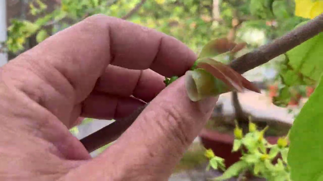 Cách Sử lý cây Mai Núc bị Nghẹn - Bổ Sung Phục Hồi Cây Mai Sau Tết2021