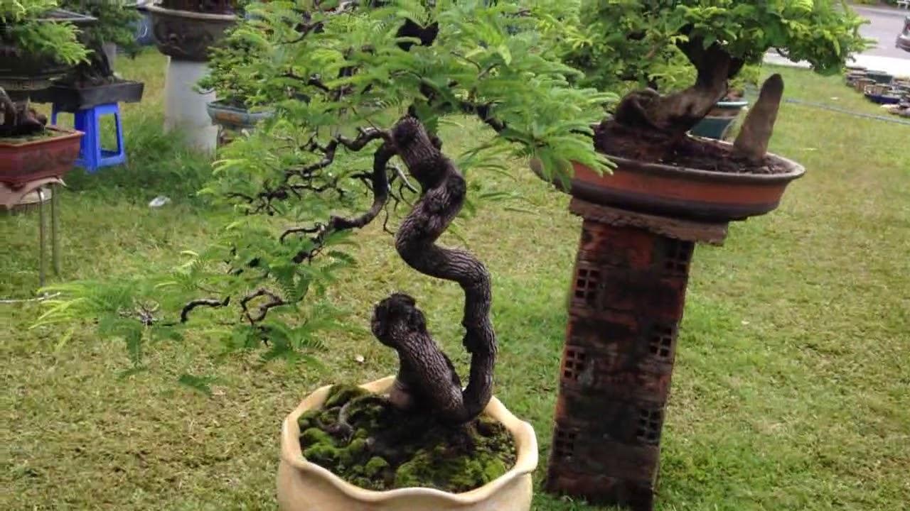 Cây cảnh đẹp, Bonsai Bình Định | Bonsai Tree 5