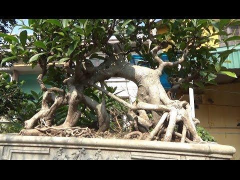 """Cây si """" Cầu Kiều"""" kì lạ và cách bố trí cây cảnh BẠN TRẺ NÊN BIẾT !"""