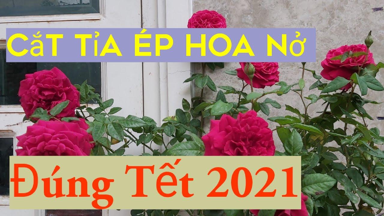 Chăm sóc Hoa hồng Nở đúng Tết Tân Sửu.2021 How to make   roses bloom in the new year.