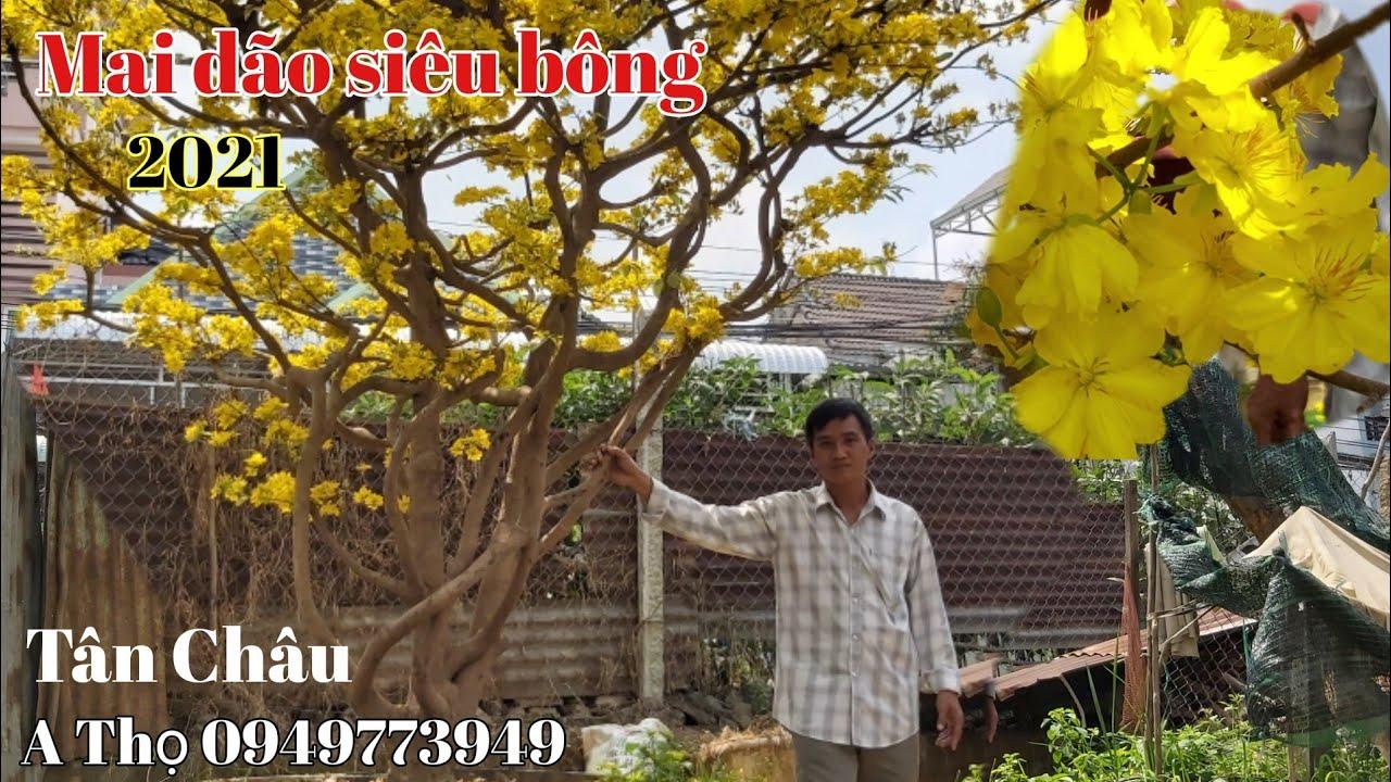 Chiêm ngưỡng Gốc Mai vàng siêu bông xuân 2021dão zin tại huyện Tân Châu gặp A Thọ 0949773949