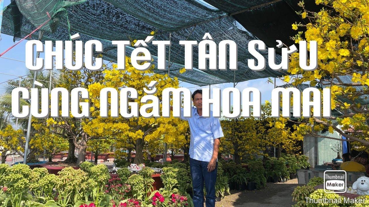 Chúc tết tân sửu cùng ngắm hoa mai 12-2-2021