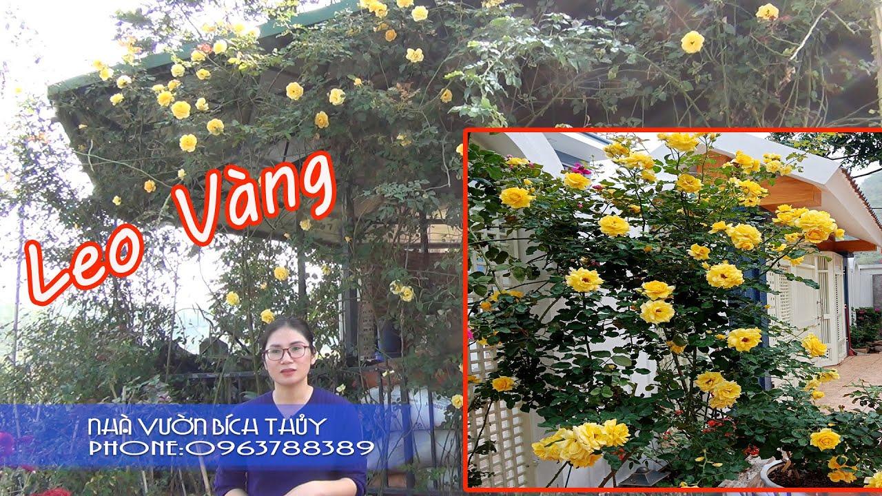 Có Hoa Là Có Nắng - Em Hồng Leo Vàng  Tại Vườn Hồng Bích Thủy Sơn La LH 0963788389 , 0961010060