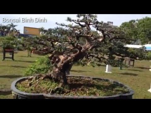 Có cây thuột lọai khủng long đây  - Bonsai Binh Dinh