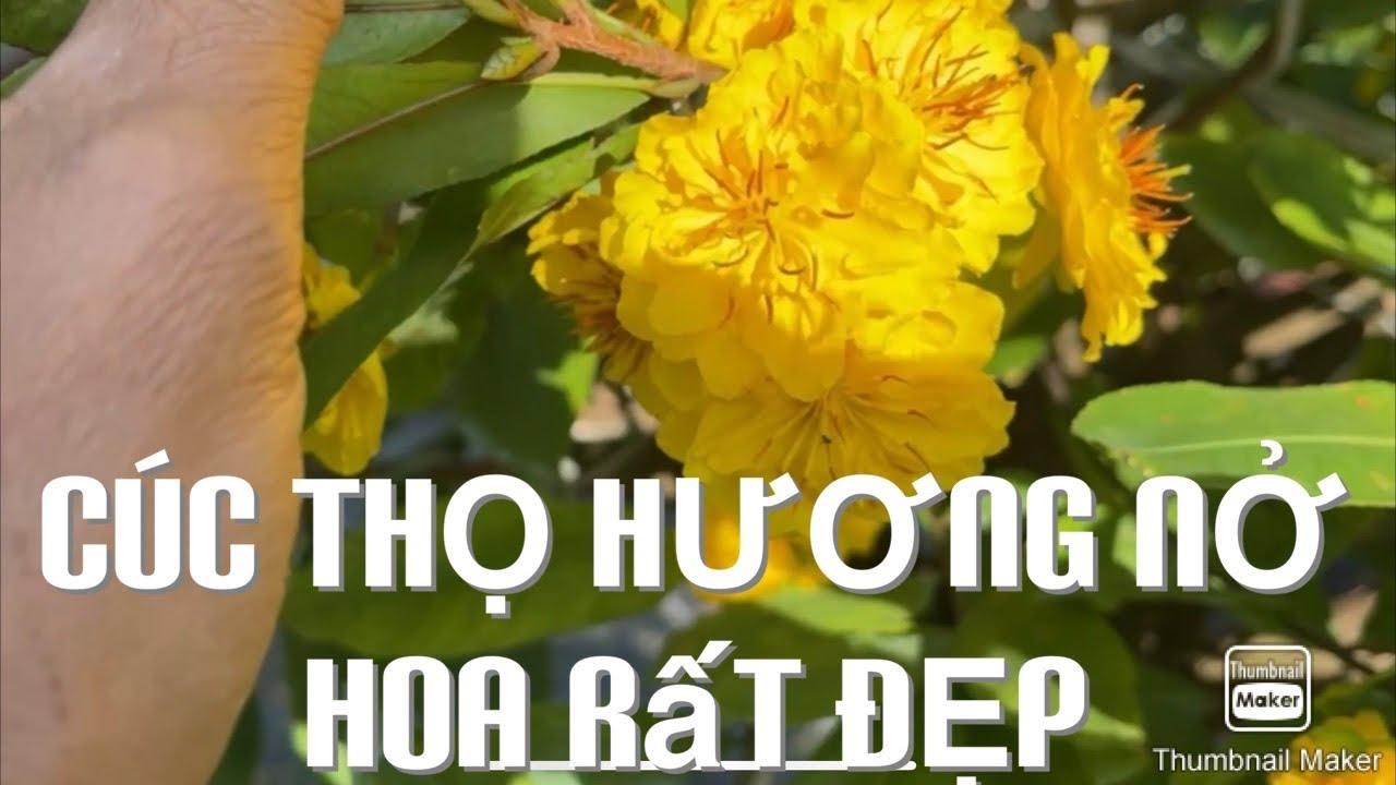 Cúc thọ hương nở hoa rất đẹp 5-12-2020