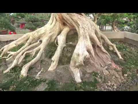 Dòng cây quý  hiếm,có lẽ bạn chưa biết, đỉnh cao của nghệ thuật