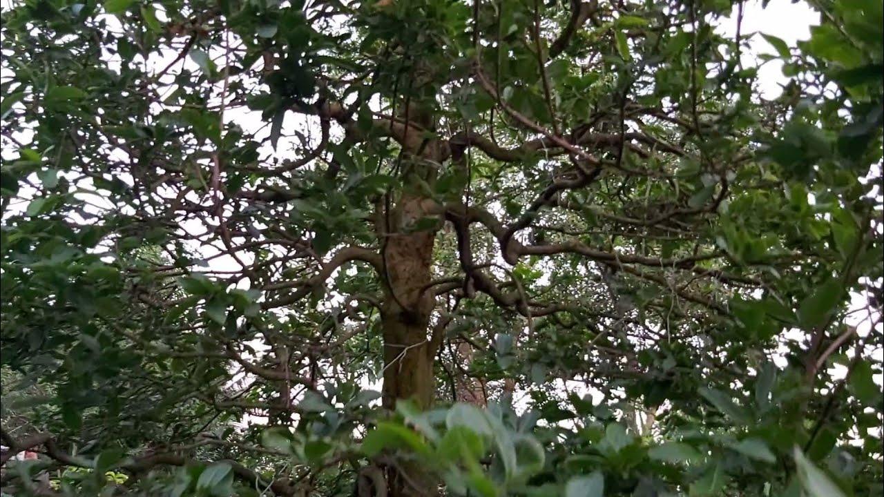Giao lưu cây Mai xù  hoành 73cm dáng trực chi cành rất đẹp giá 500tr gặp 0335766698 A Ba Bến Tre.