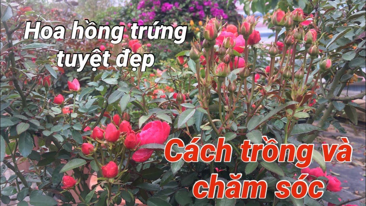 Giới thiệu và hướng dẫn cách trồng và chăm sóc hoa hồng trứng