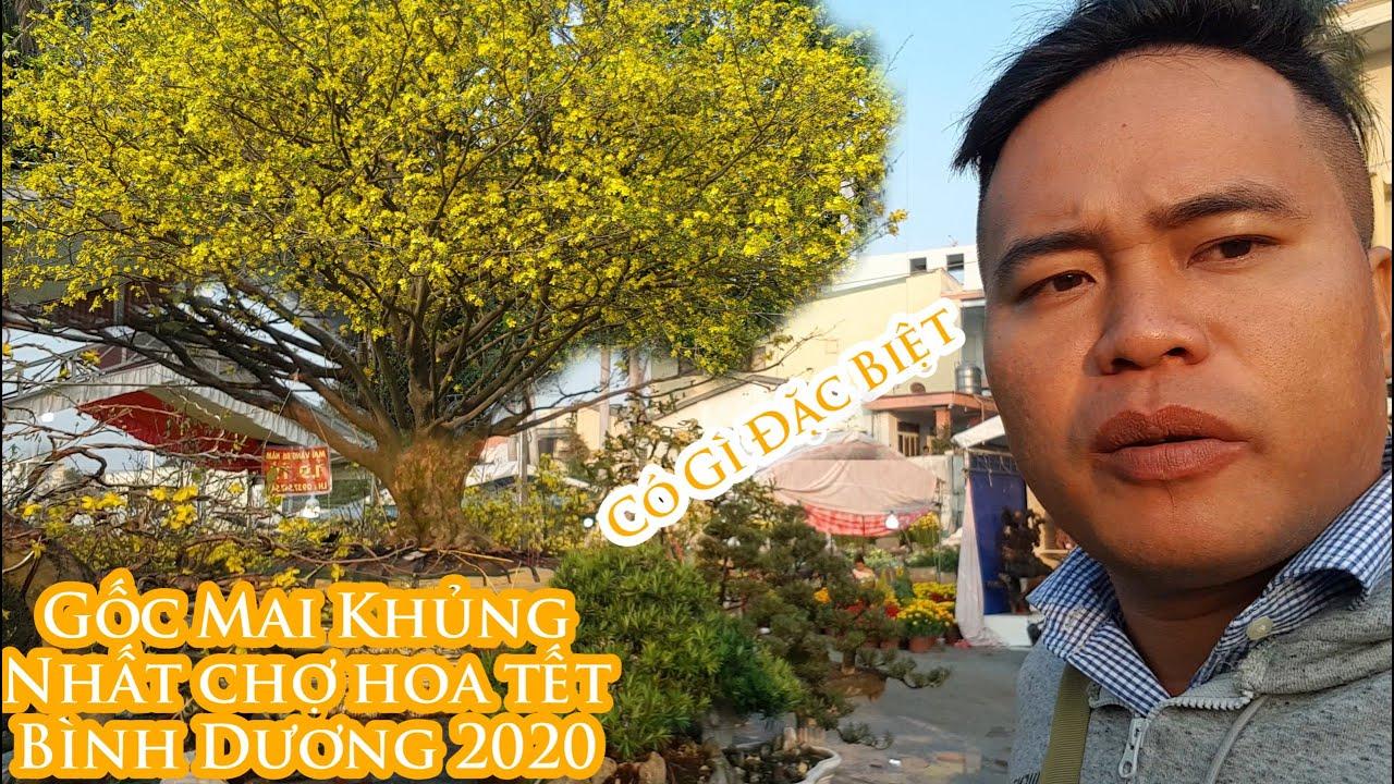 Gốc mai vàng khủng nhất chợ hoa tết 2020 ở Bình Dương đẹp như thế nào 0937547548