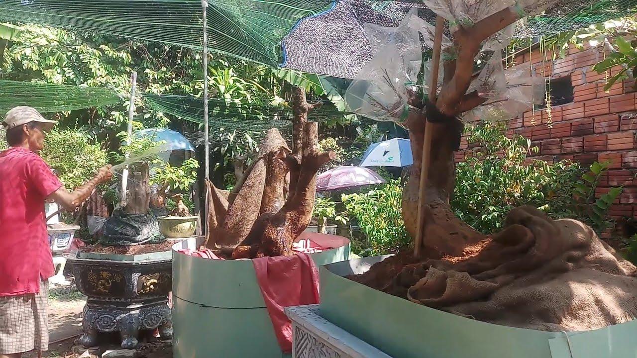 HV 401.tìm hiểu và giao lưu số mai phôi và mai bonsai thành phẩm chất lượng tại nhà vườn phúc ngô