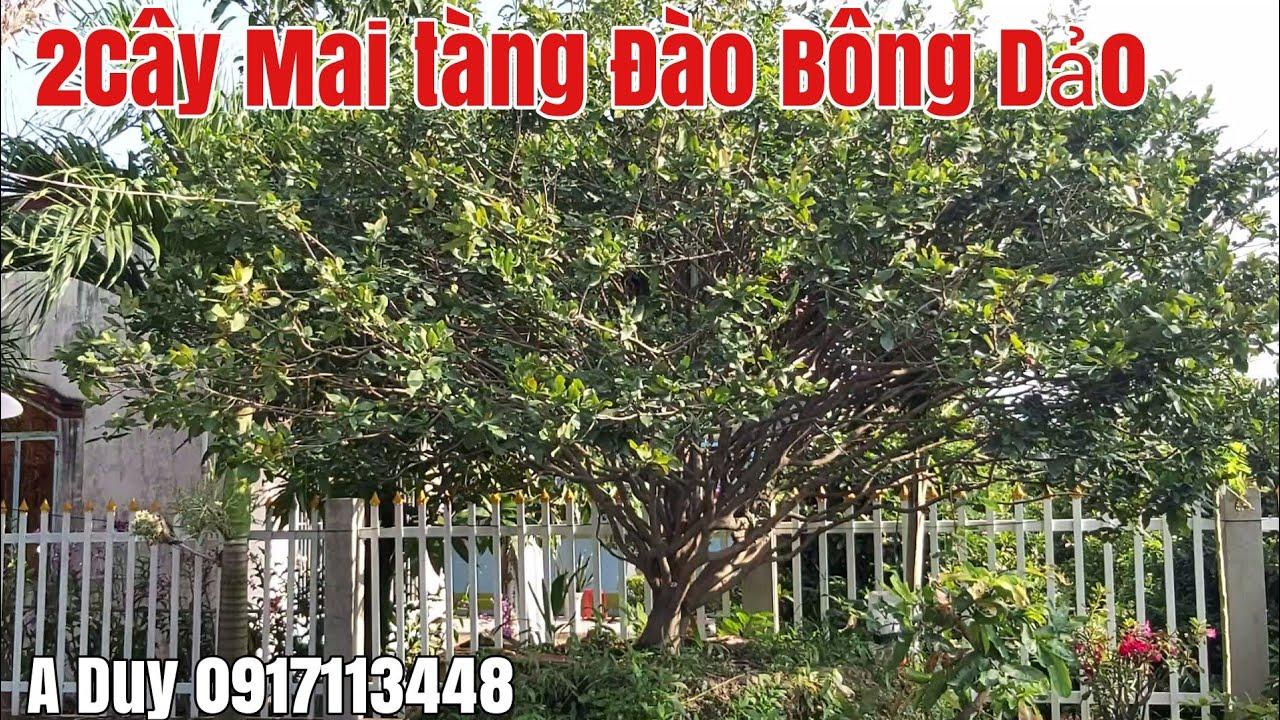 Hai Cây Mai tàng Đào siêu to bông dảo giá hợp lý gặp A Duy 0917113448 huyện Tháp Mười Đồng Tháp