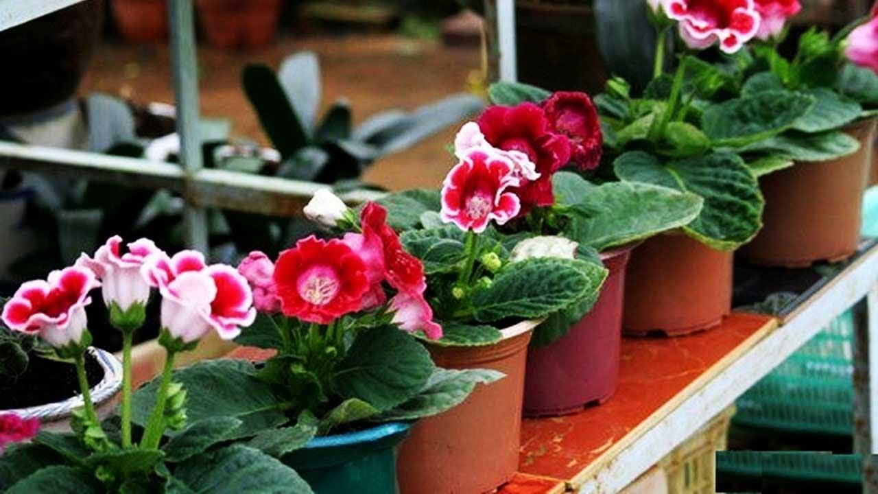 Hướng dẫn cách trồng và chăm sóc hoa tử la lan đẹp lung linh