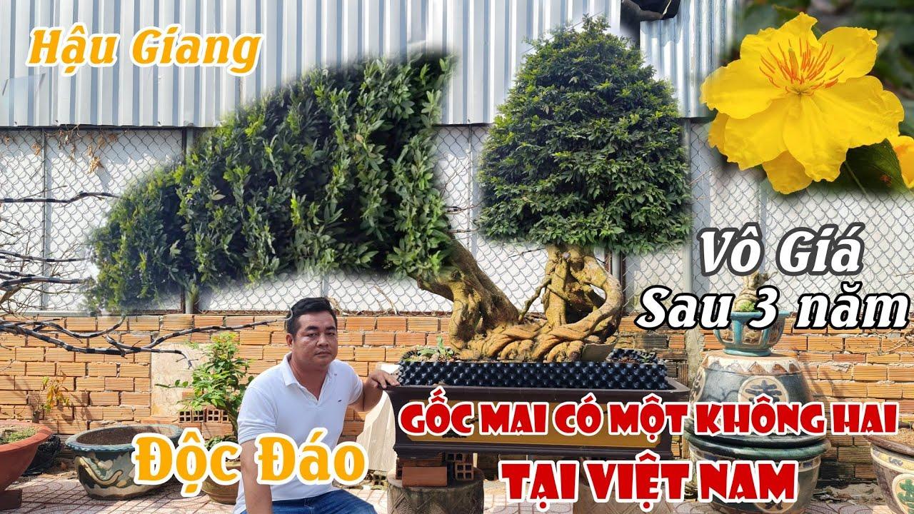 Lần đầu thấy gốc mai SIÊU ĐẲNG CẤP có một không hai ở Việt Nam 0907709009