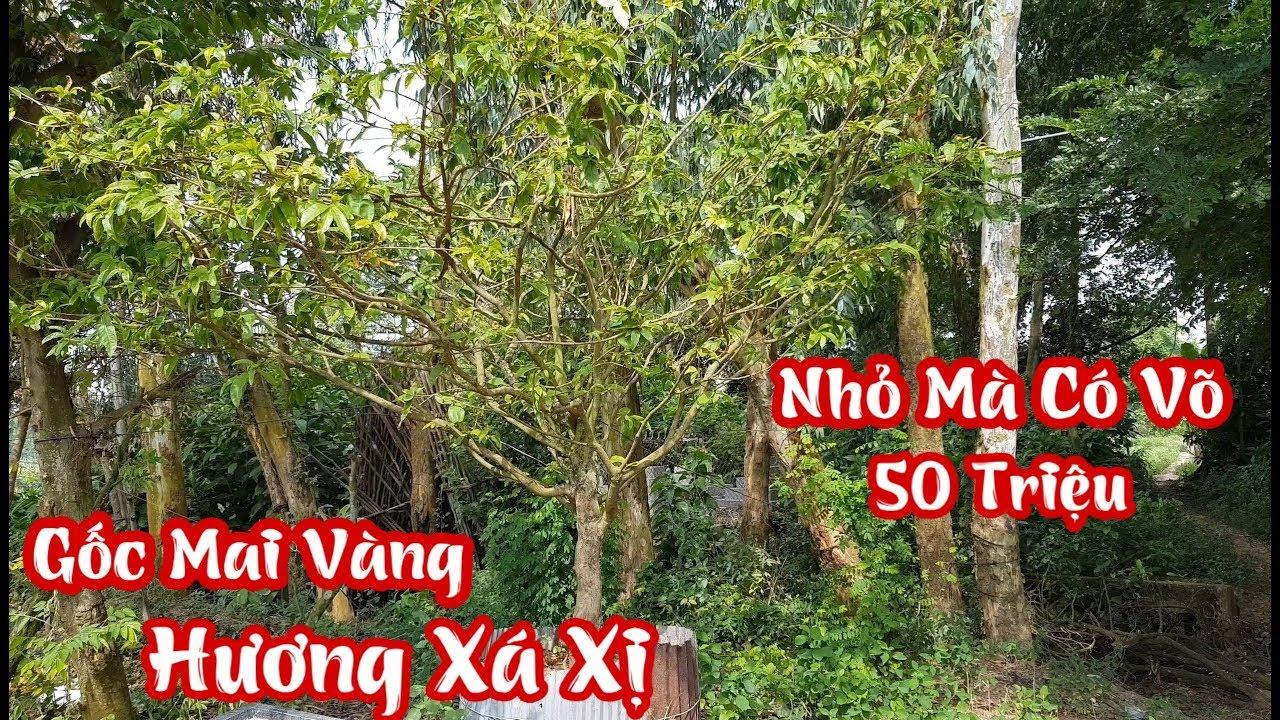 Lần đầu thấy gốc mai vàng hương xá xị ở Châu Thành An Giang