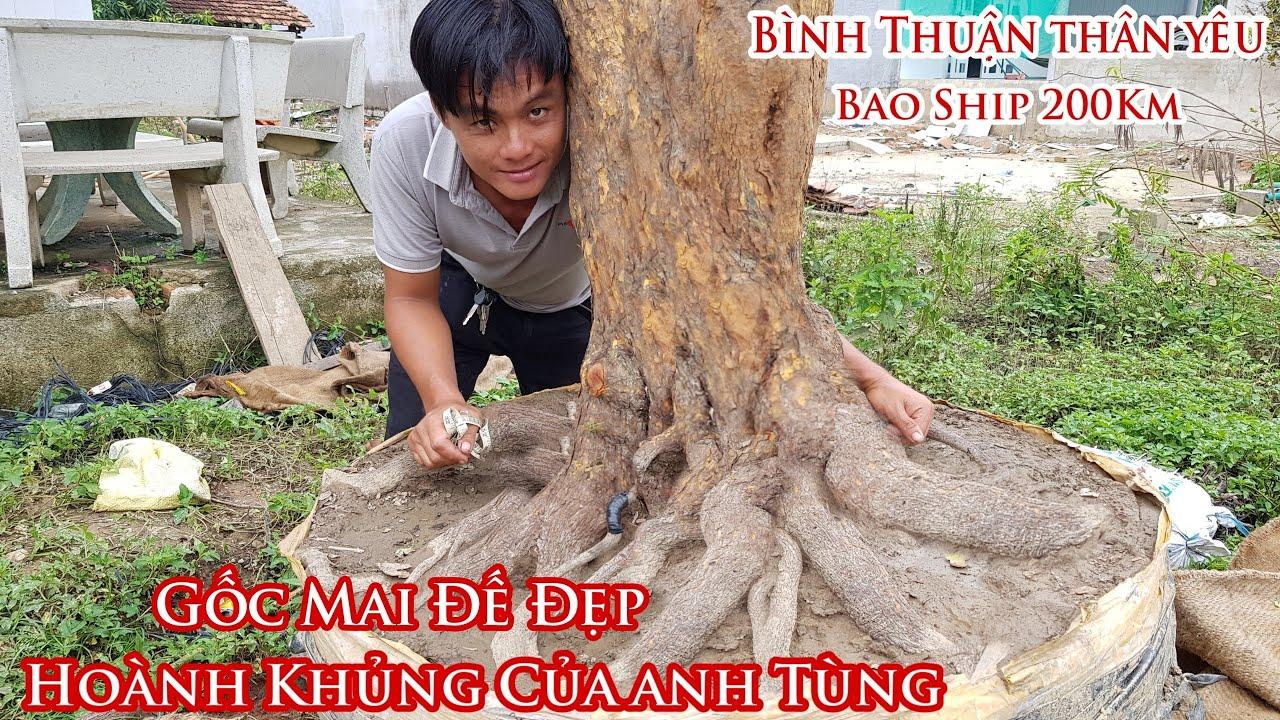 """Lô mai hoành khủng """"ĐẾ ĐẠI"""" của anh Tùng ở Bình Thuận 0978484767"""