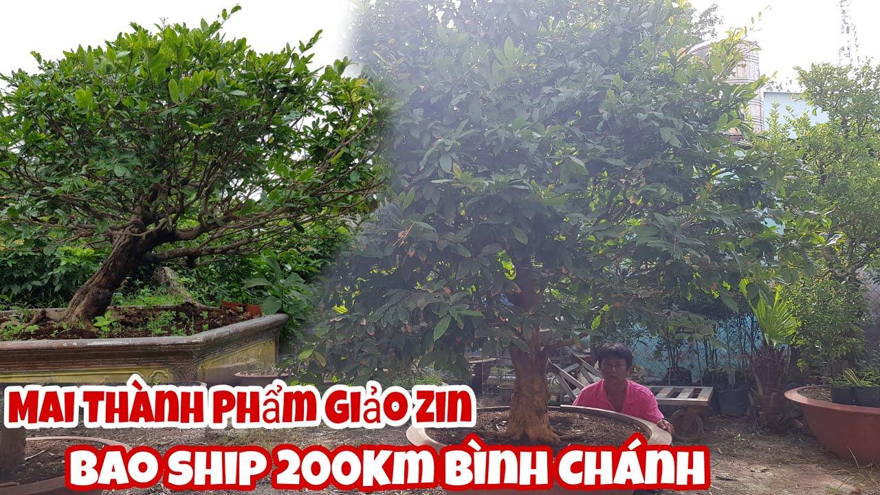 Lô mai vàng Giảo Zin Bông 8 đến 12 cánh của anh Linh Bình Chánh 0979194439