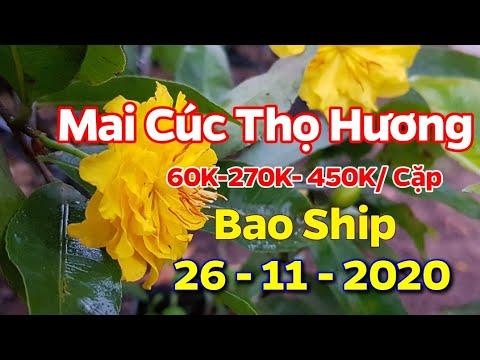 Mai Cúc Thọ Hương - Làm Giống - Chơi Tết 2021 - (26/11/2020) - 0389 578 456
