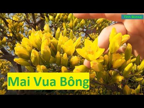 Mai Trùm Bông | Tính Bonsai