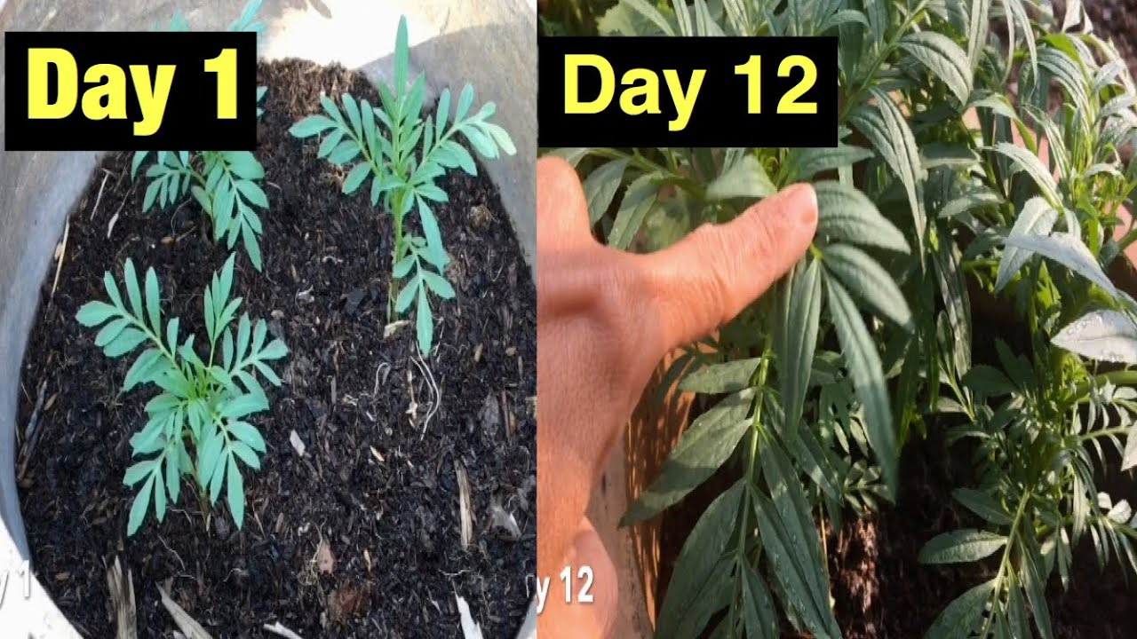 Mẹo trồng hoa vạn thọ nhanh lớn chơi tết