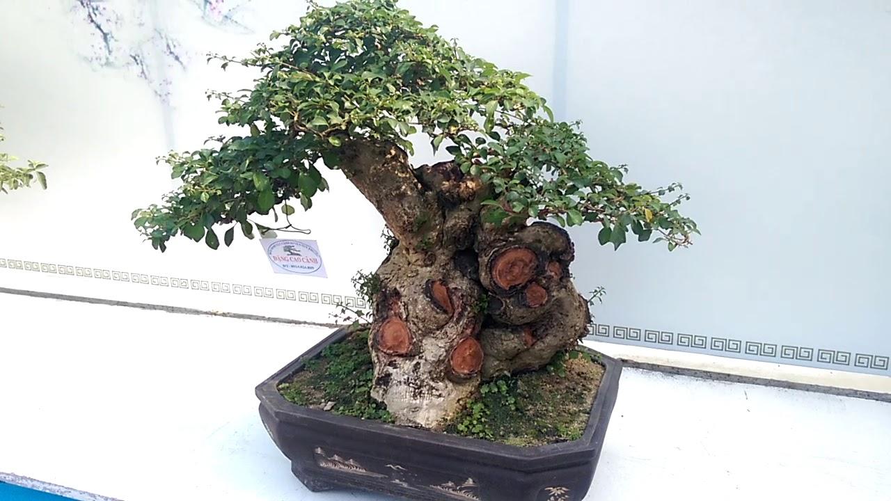 Một số cây Bonsai mini tuyệt đỉnh - Bonsai Binh Dinh