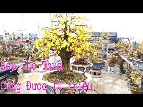 Nếu cho thuê cũng 10 triệu rồi đó, Cây Mai Bình Định quá đẹp - Bonsai Binh Dinh