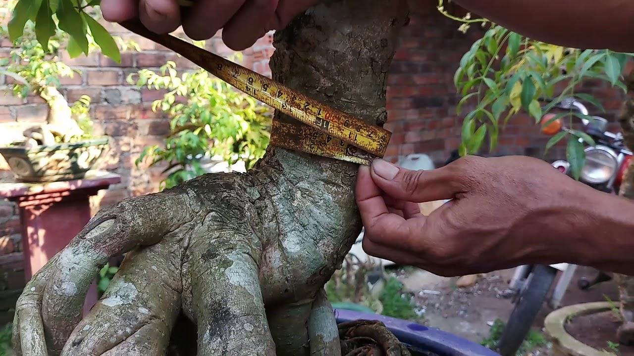 Nhà vườn giới thiệu và báo giá 5cây bonsai cần giao lưu 01225552155