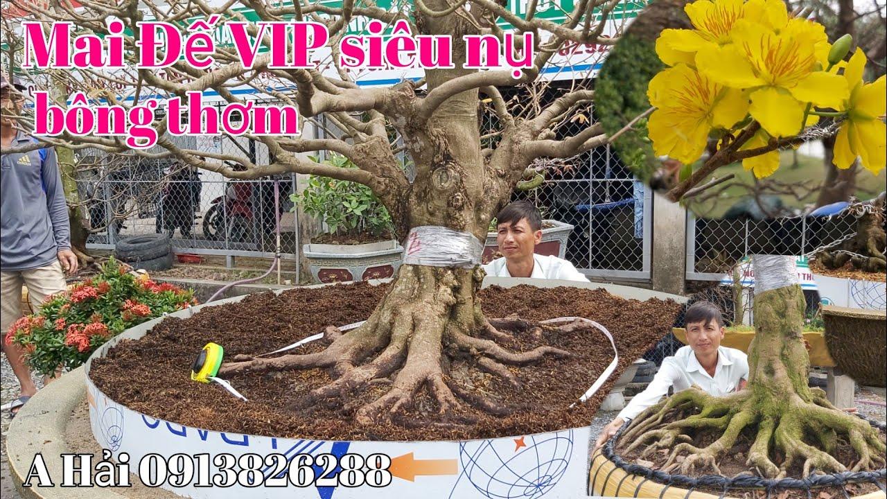 Phát hiện 2 Cây Mai đế VIP Móng rồng bông thơm gặp A Hải 0913826288