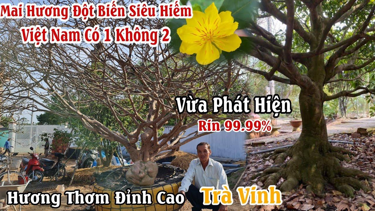 Siêu Hot : Xuất hiện GỐC MAI HƯƠNG có một không hai ở Việt Nam 0919182904