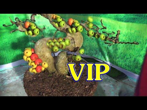Sung siêu VIP, lộc vừng già đang quả, ngày 30/10, ĐT: 0337496058
