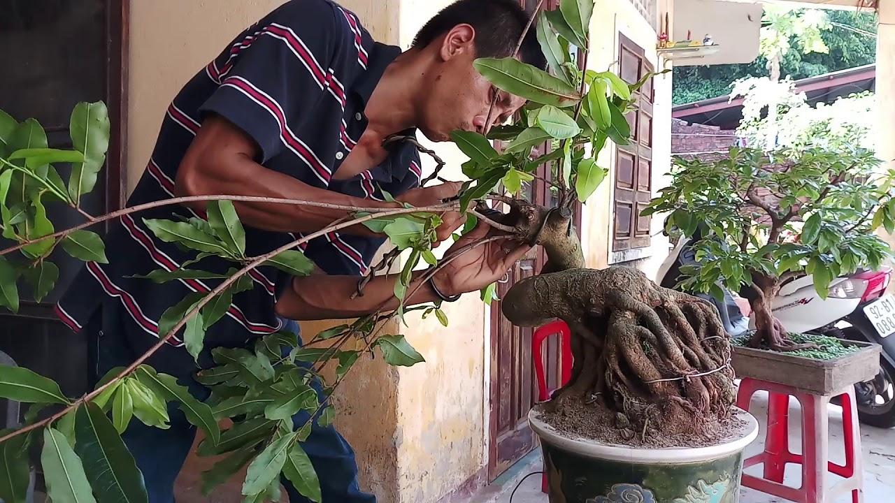 Tạo thế mới cho cây mai bonsai mini