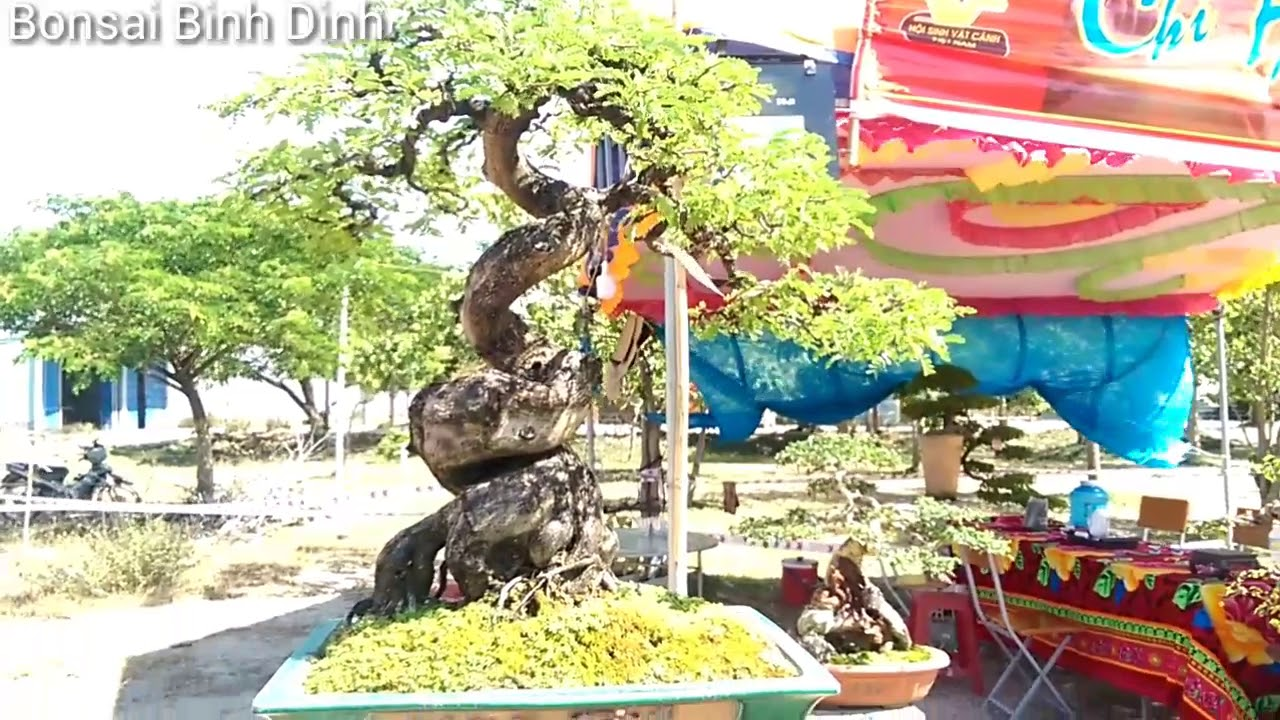Triển lãm Tuy Phước  - Me và nhiều cây đẹp  - Bonsai Binh Dinh