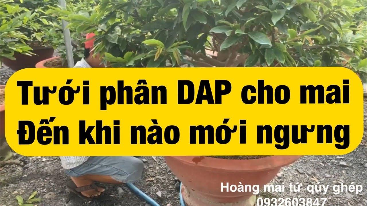 Tưới phân DAP cho mai đến khi nào mới ngưng 21-7-2020