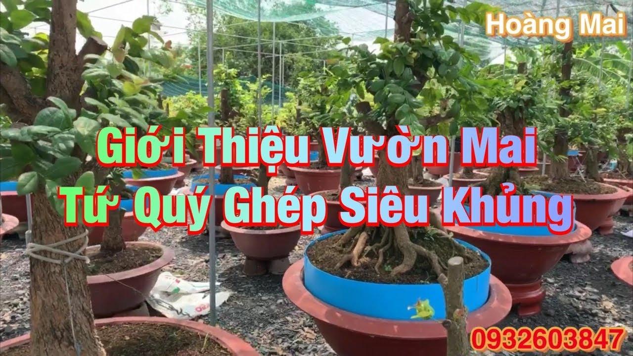 Vườn Mai Tứ Quý Ghép Siêu Khủng Tại Huyện Bình Chánh TP.HCM
